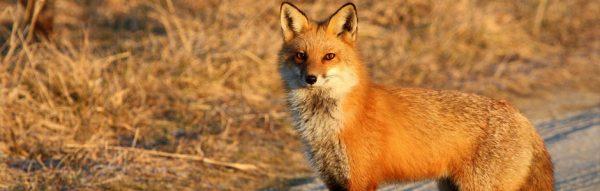 Fox Spine