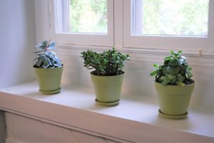 Three succulents under a window in afternoon light.
